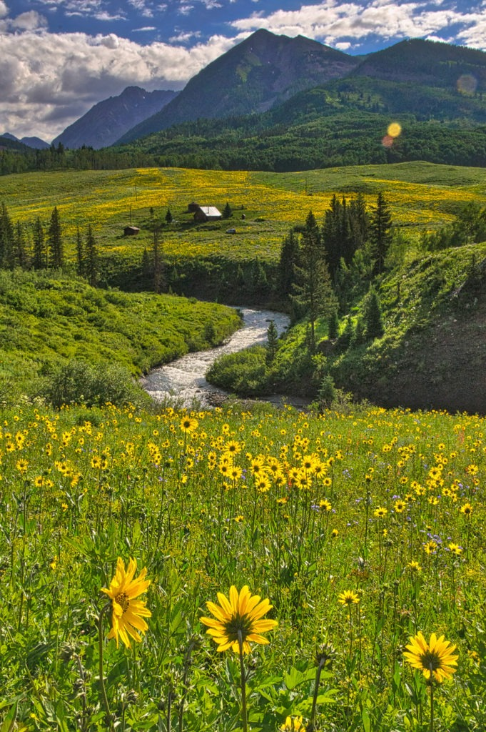 Aspen Sunflowers, Helianthella quinquenervis, grow along Gothic Road, which follows the East River, north of Mount Crested Butte, Colorado