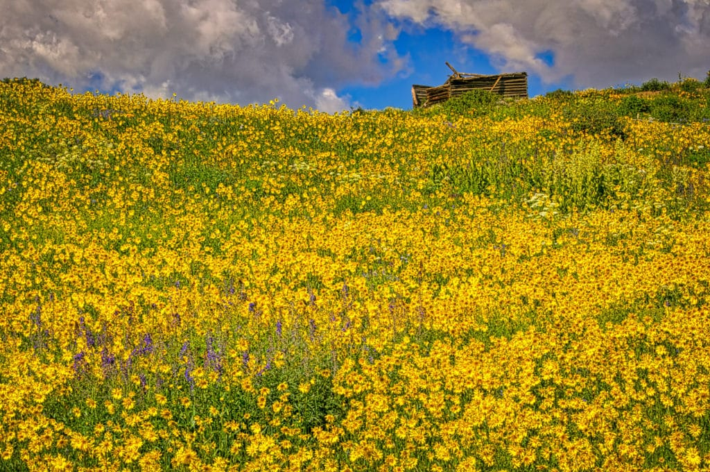 A log cabin ruin floats in a sea of sunflowers, along Gothic Road, near the East River, north of Mount Crested Butte, Colorado.