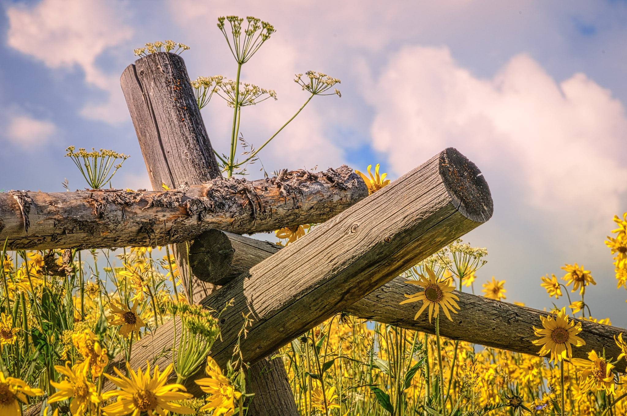 A rail fence among Golden Asters, Mule's Ears, sunflowers, and fennel along the Gothic Road north of Mt. Crested Butte, Colorado.