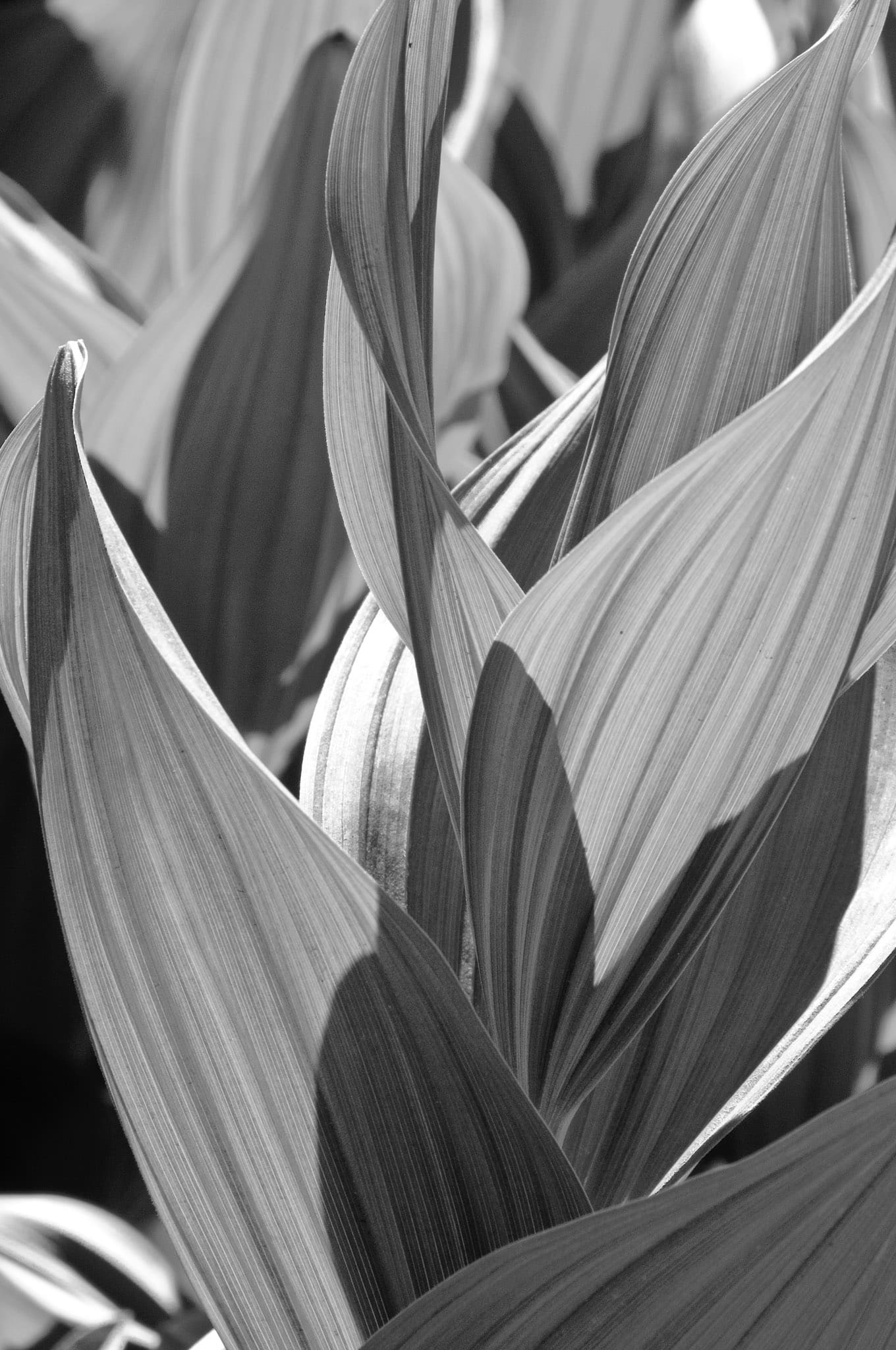 A close-up of the leaves of a Corn Lilly plant, taken along the Brush Creek Road southeast of Mt. Crested Butte, Colorado.