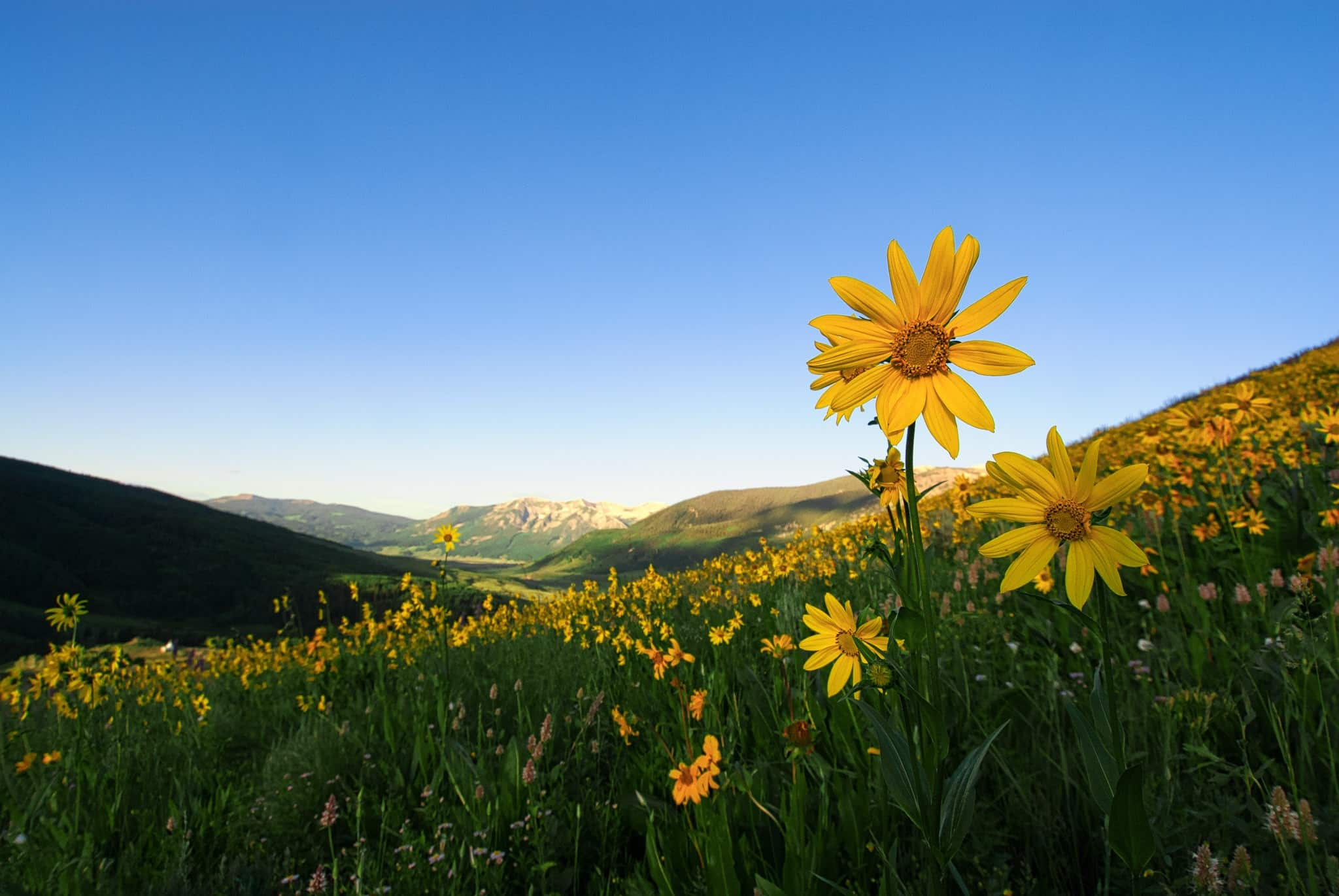 Aspen Sunflowers stand tall amongst the Mule's Ears and Sneezeweed, along West Brush Creek Road near Mount Crested Butte, Colorado.