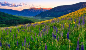 View looking west across a profusion of Sneezeweed, Mule's Ears, and larkspur at dawn near the Brush Creek Road southeast of Mt. Crested Butte, Colorado. Crested Butte Wildflowers.