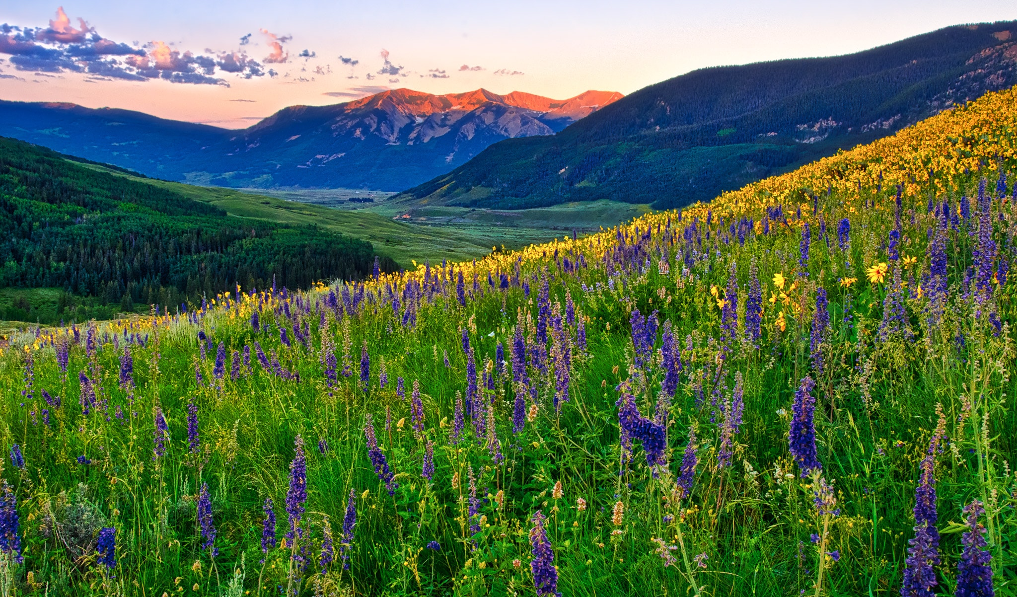 View looking west across a profusion of Sneezeweed, Mule's Ears, and larkspur at dawn near the Brush Creek Road southeast of Mt. Crested Butte, Colorado.