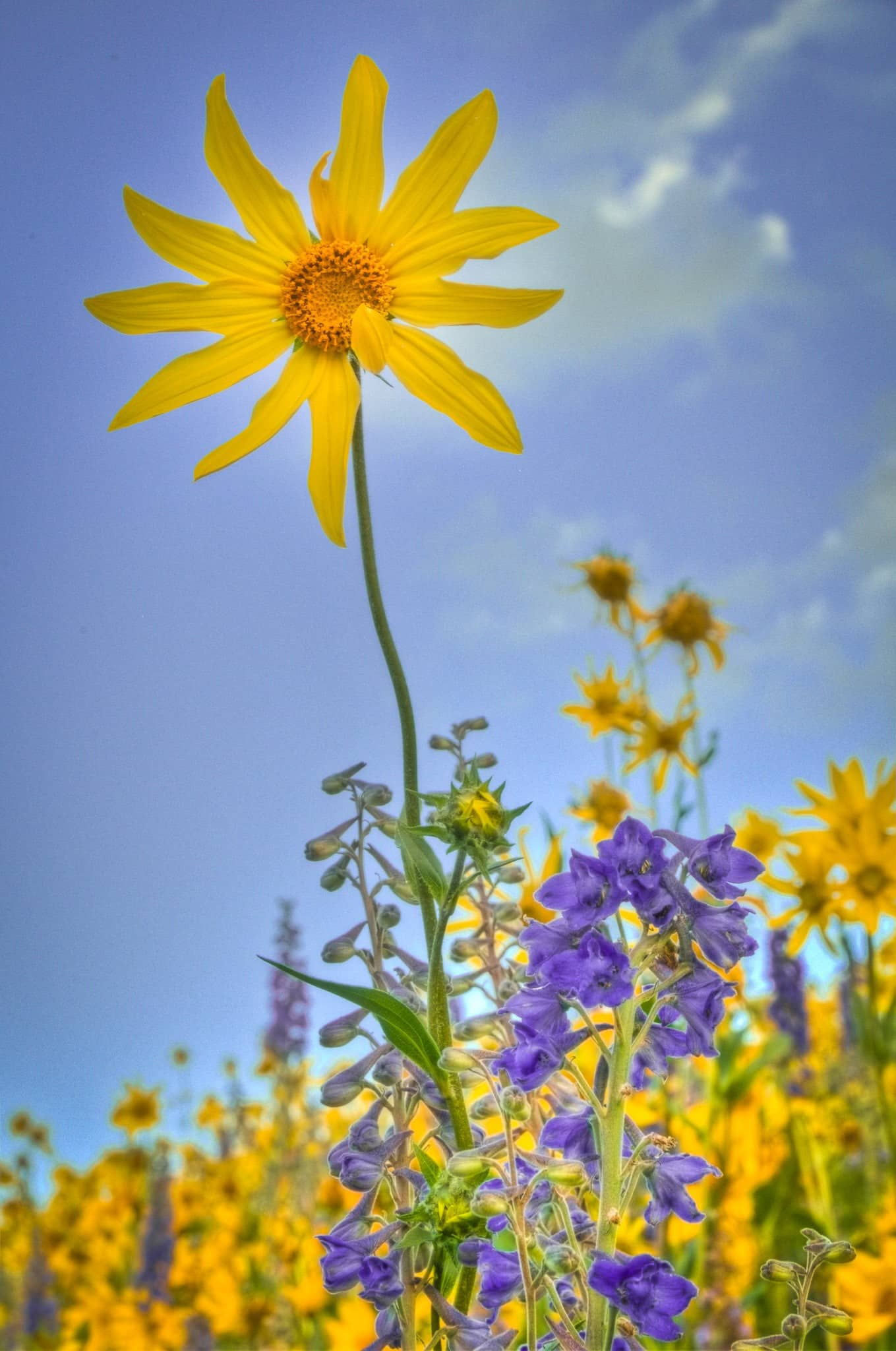 An Aspen Sunflower grows in a fields of Mule's Ears, sunflowers and larkspur along the Brush Creek Road southeast of Mt. Crested Butte, Colorado.