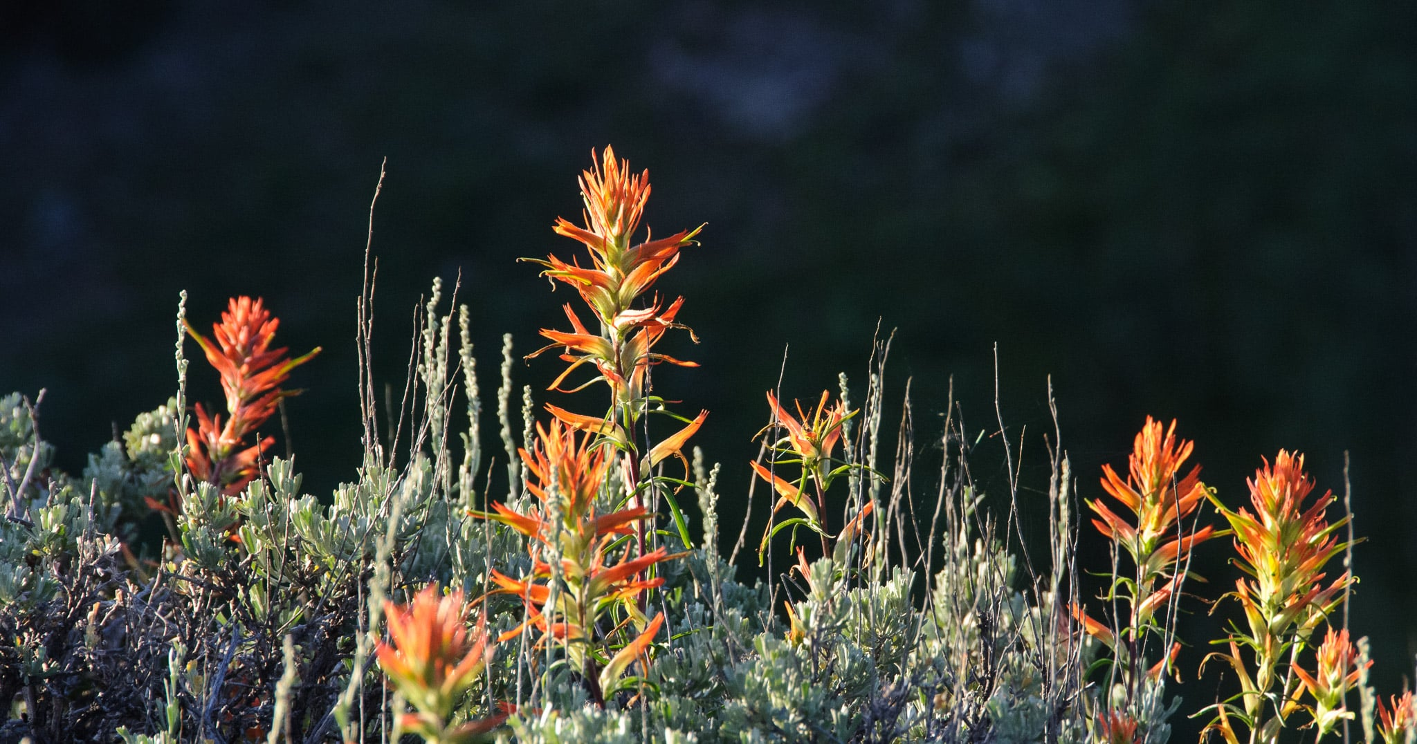 A row of paintbrush grows amongst the sage near West Brush Creek Road, near Pearl Pass, north of Crested Butte, Colorado.