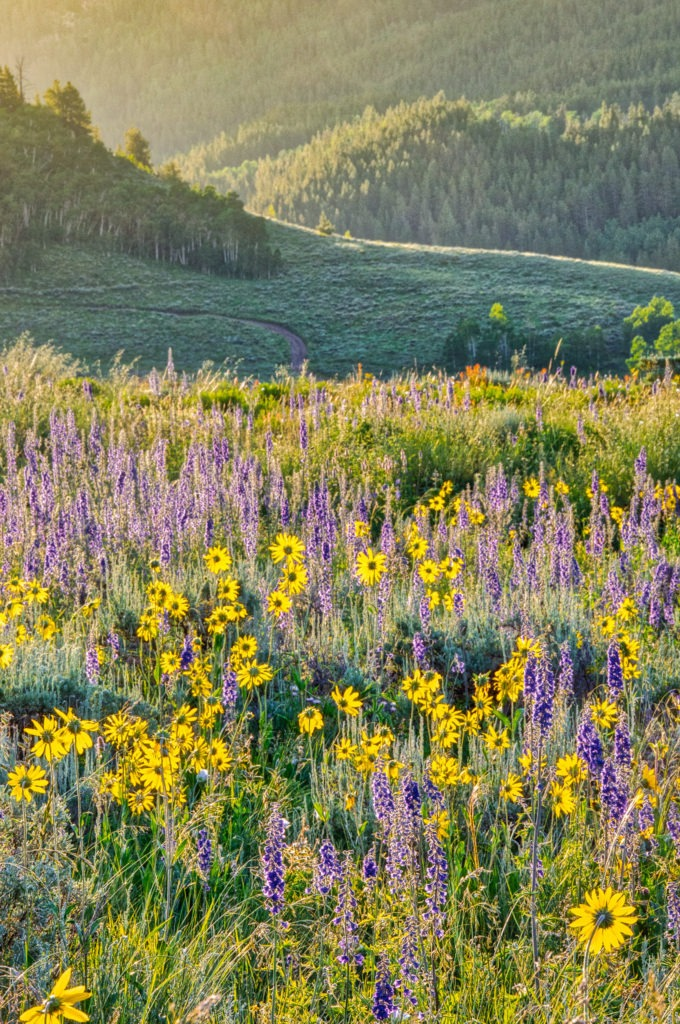 Aspen Sunflowers, growing among Geyer Larkspur, turn their heads toward the rising sun along West Brush Creek Road near Mount Crested Butte, Colorado.