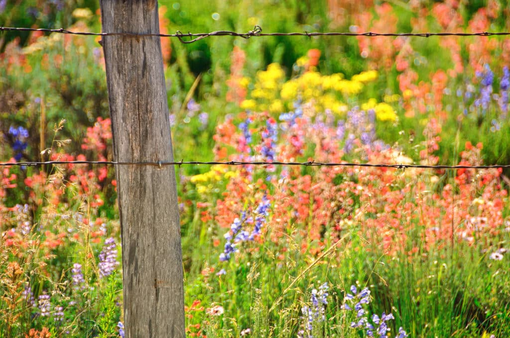 A barbed-wire fence contains a field of Larkspur, Scarlet Gilia, Yarrow, and Asters, taken along the Brush Creek Road near Mt. Crested Butte, Colorado.