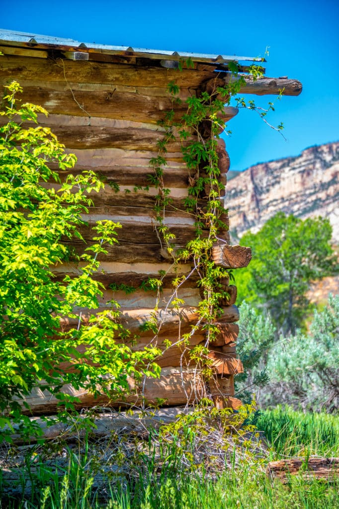 The old Chew Ranch lies on both sides of Echo Park Road in Dinosaur National Monument, Colorado. Here is a view of Virginia Creeper growing up the side of one of the log out-buildings.
