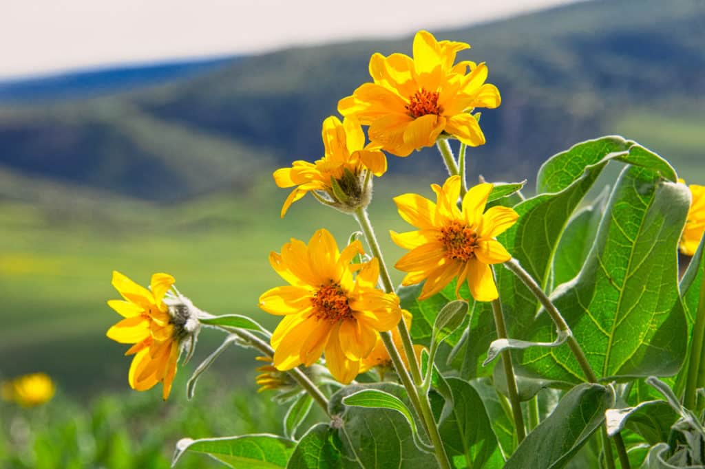 Arrow-Leaf Balsamroot covers the hillsides at the higher elevations of Harpers Corn Road in Dinosaur National Monument, Utah.