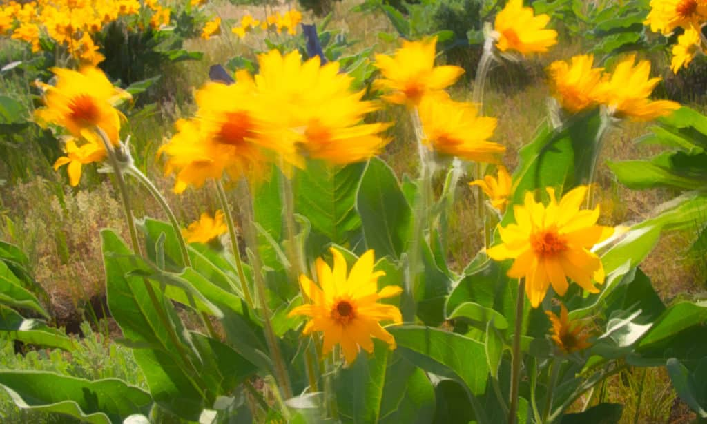 These Arrow-Leaf Balsamroot flowers are whipping in the wind along Harpers Corner Road in Dinosaur National Monument, Utah.