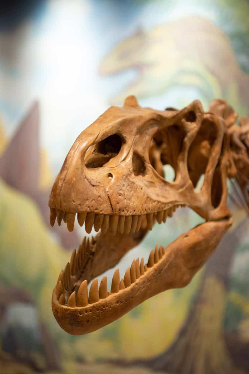 A model of an allosaurus skeleton is displayed in the Utah Field House in Vernal, Utah.