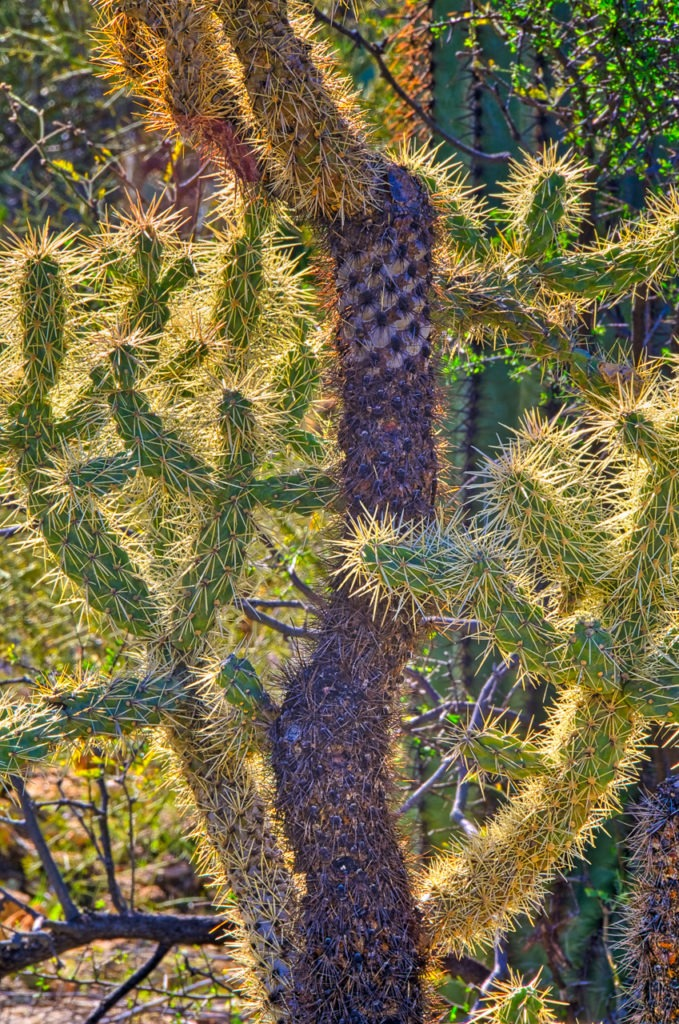 Cholla along the Apache Trail, east of Phoenix. And, yes, it is just as painful as it looks.