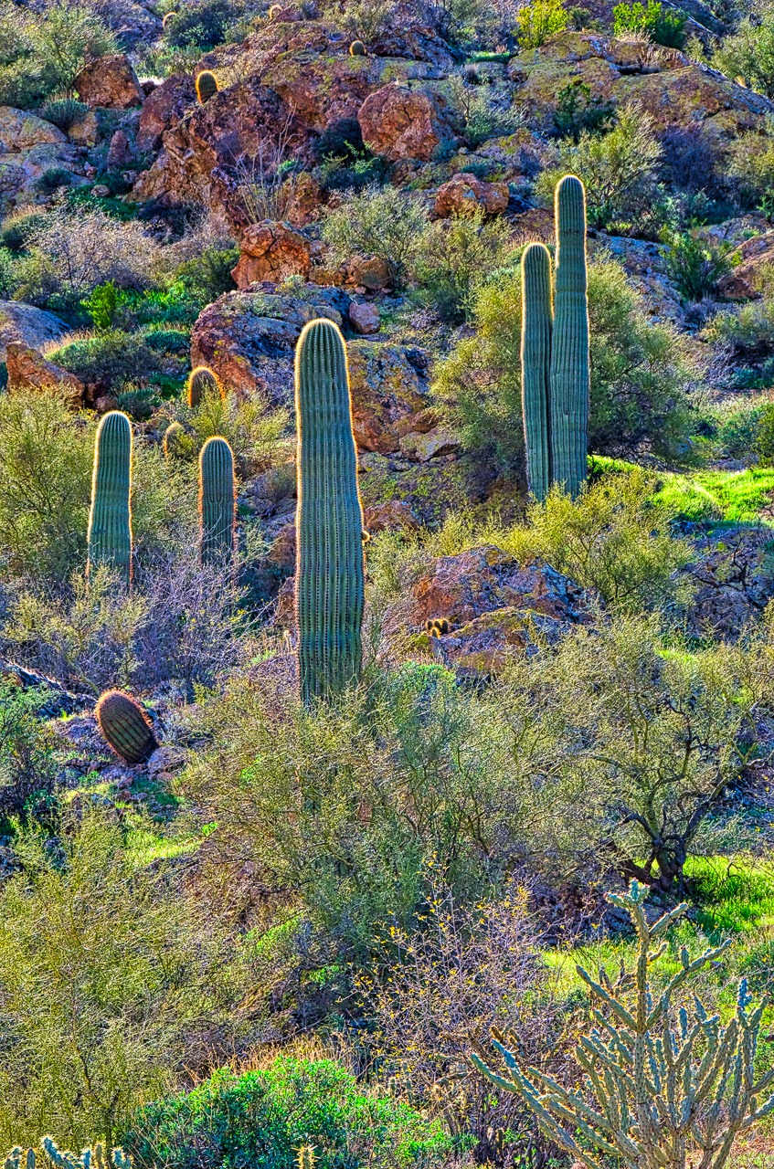 Cactus growing up a hillside along the Apache Trail, between Apache Junction and Roosevelt Lake in Arizona.