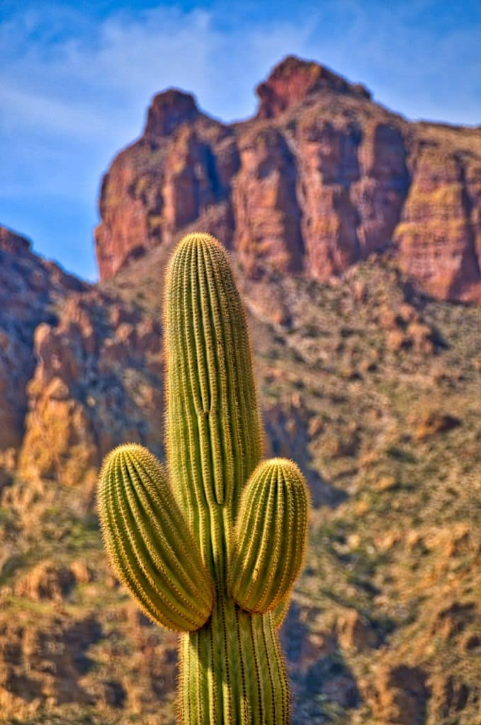 A Saguaro cactus puts up its dukes along the Reavis Trailhead Road off the Apache Trail in Arizona.