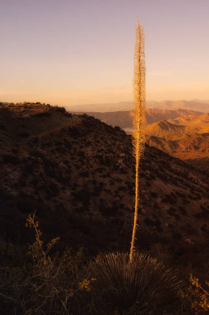 The last light of day catches the stalk of a Dasylirion wheeleri (or sotol) on the Reavis Trailhead Road above Apache Lake, east of Phoenix, Arizona.