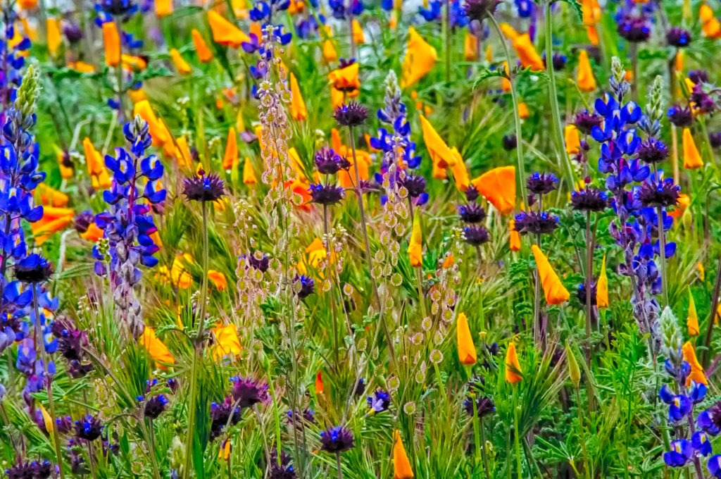 A colorful stand of Desert Lupine, Mexican Gold Poppies and Chia flowers along the Apache Trail in Arizona. Arizona spring wildflowers.