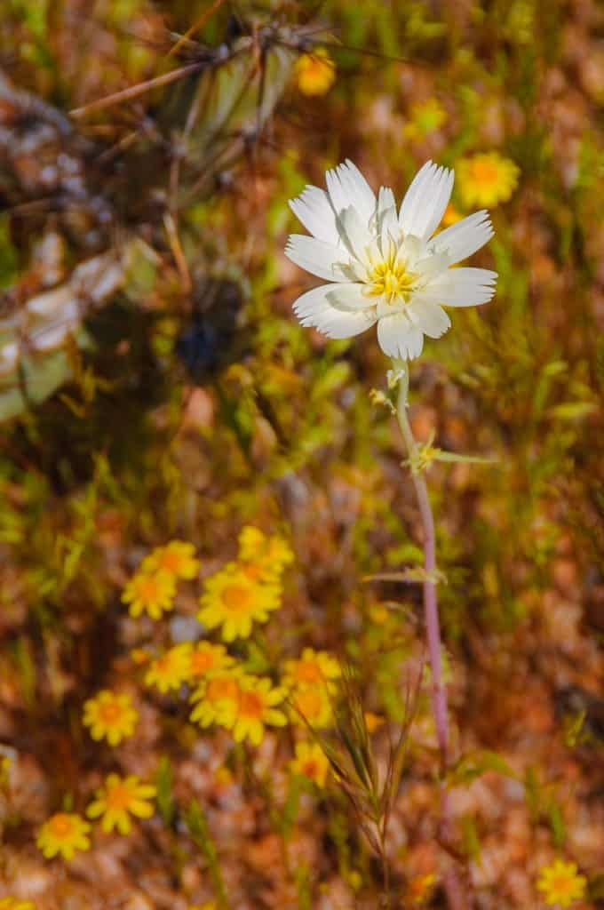 This Chicory bloom grows next to the Apache Trail in Arizona. Or, is it a White Tackstem???