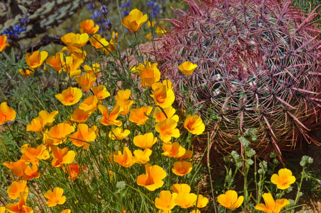 A patch of golden Mexican Poppies grows next to a young Fishhook Barrel cactus near Apache Lake, off the Apache Trail in Arizona.