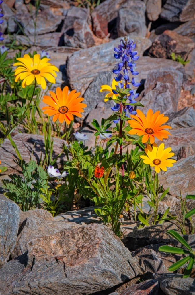 A cluster of Cape Marigolds and a lupine glow in the afternoon sun at the Apache Lake Marina and Resort off the Apache trail in Arizona.