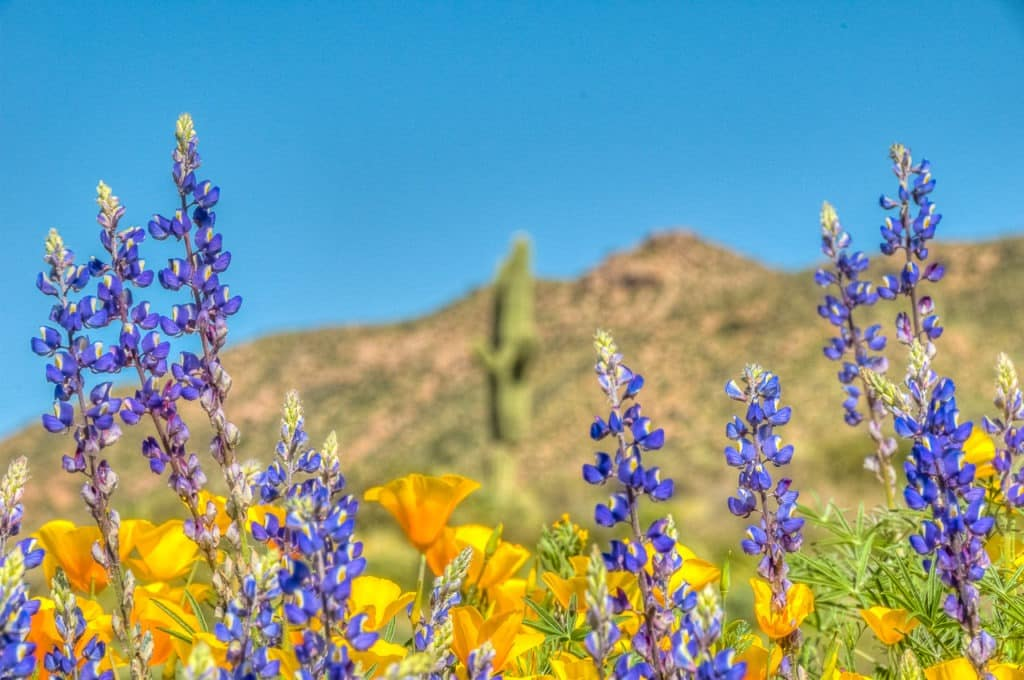 Mexican yellow poppies and desert lupine wave in the breeze along the entrance road to Apache Lake Marina and Resort in Arizona.