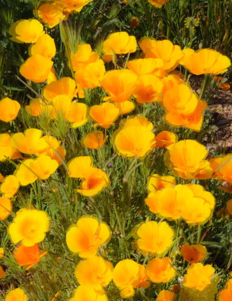 Mexican Gold Poppies flutter in the stiff breeze along the Apache Trail in Arizona.