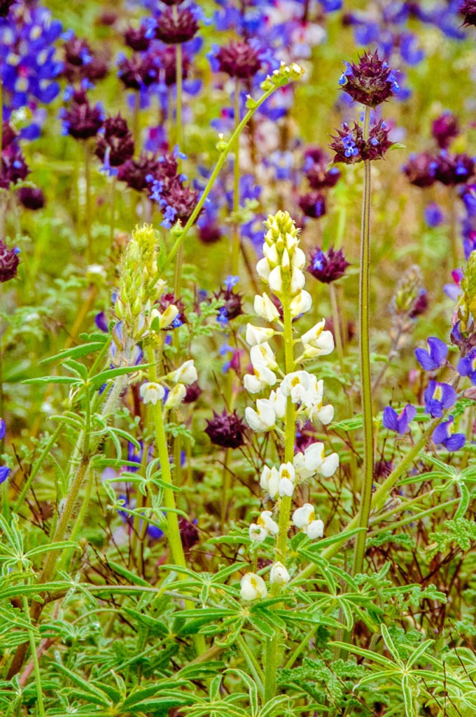 An unusual white desert lupine grows along side chia and the more common purple lupine along the Reavis Ranch Road off the Apache Trail in Arizona.