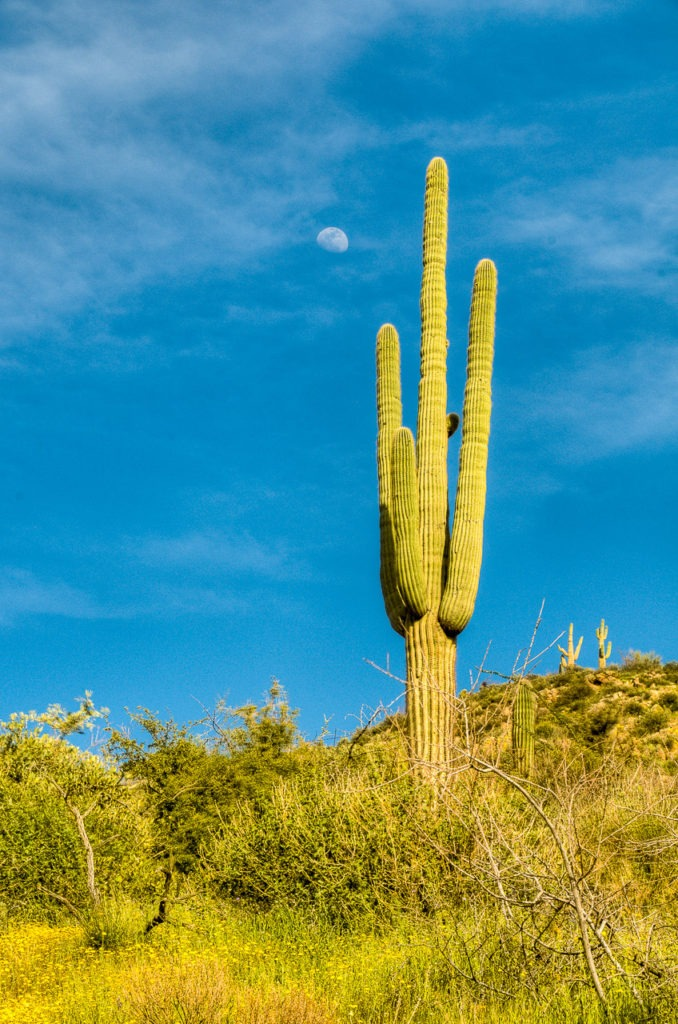 The last-quarter moon appears to hang above a Saguaro cactus up the road from Apache Lake, along the Apache Trail in Arizona.
