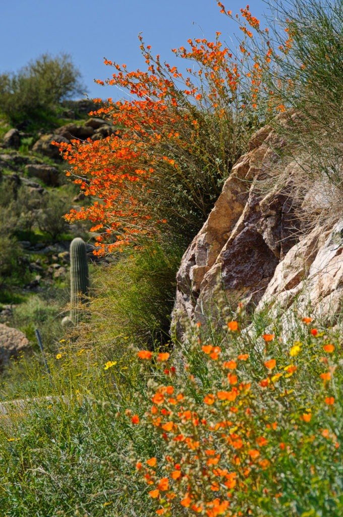 Globe Mallow grows along the Apache Trail in Arizona.