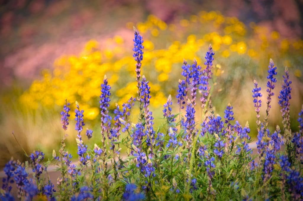 An illustration Desert Lupine standing in front of a field of Mexican Gold Poppies along the Apache Trail in Arizona.