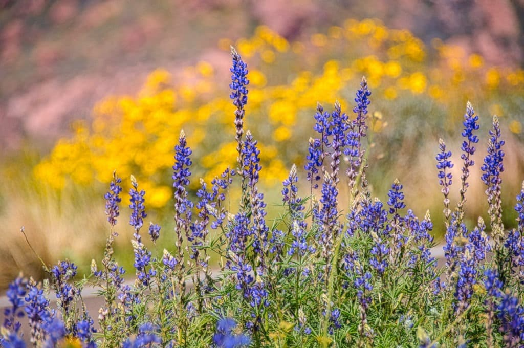 Desert Lupine stands in front of a field of Mexican Gold Poppies along the Apache Trail in Arizona.