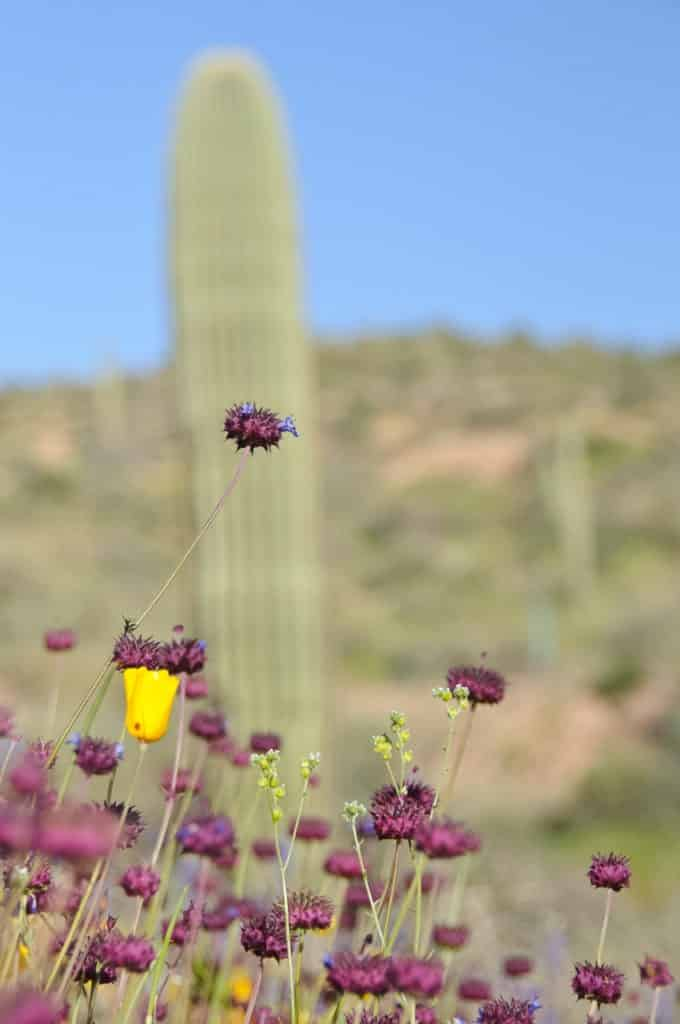 A lovely Chia Flower starts to bloom among the saguaro.