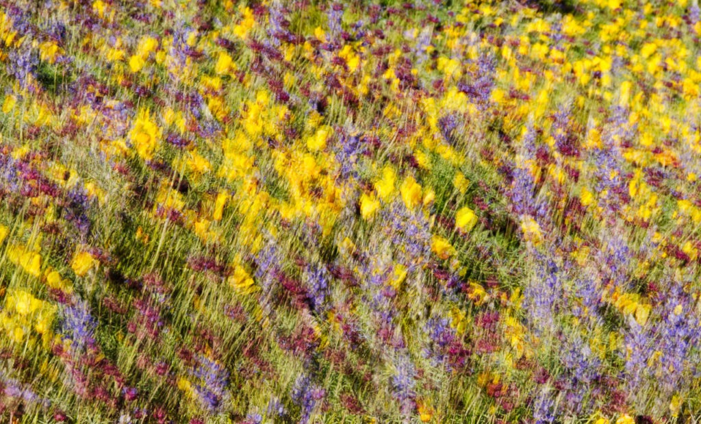 Mexican Gold Poppies nestle among the spines of a Barrel Cactus along the Apache Trail in Arizona., Desert Lupine, and Chia Flowers grace the floor of the desert along the Apache Trail in Arizona.