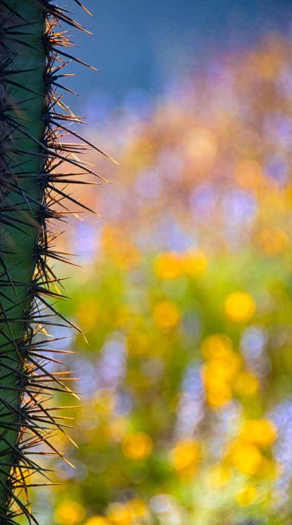 A lone saguaro stands amid a field of mixed wildflowers along the Apache Trail in Arizona.