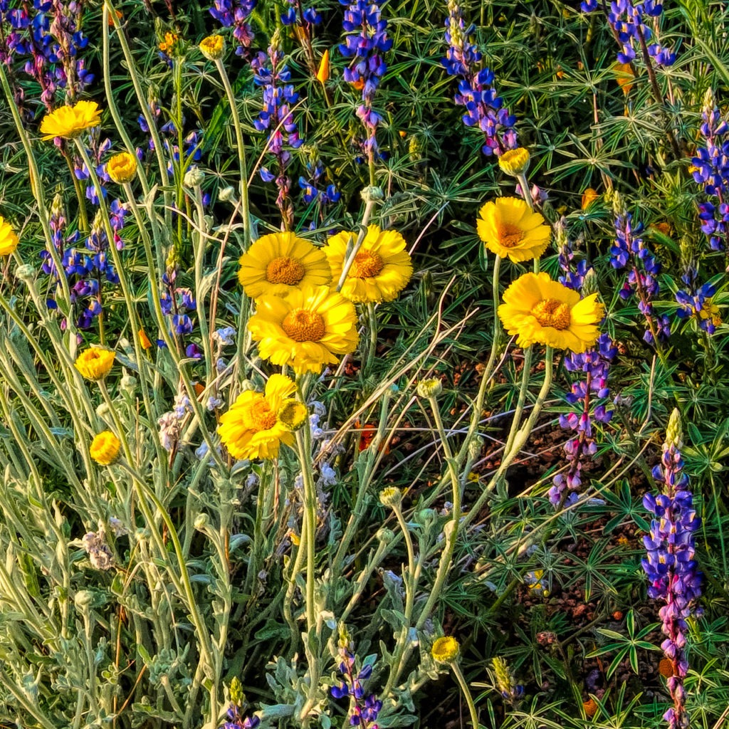 Some ruffled desert marigolds share space with some desert lupine along the Apache Trail in Arizona.