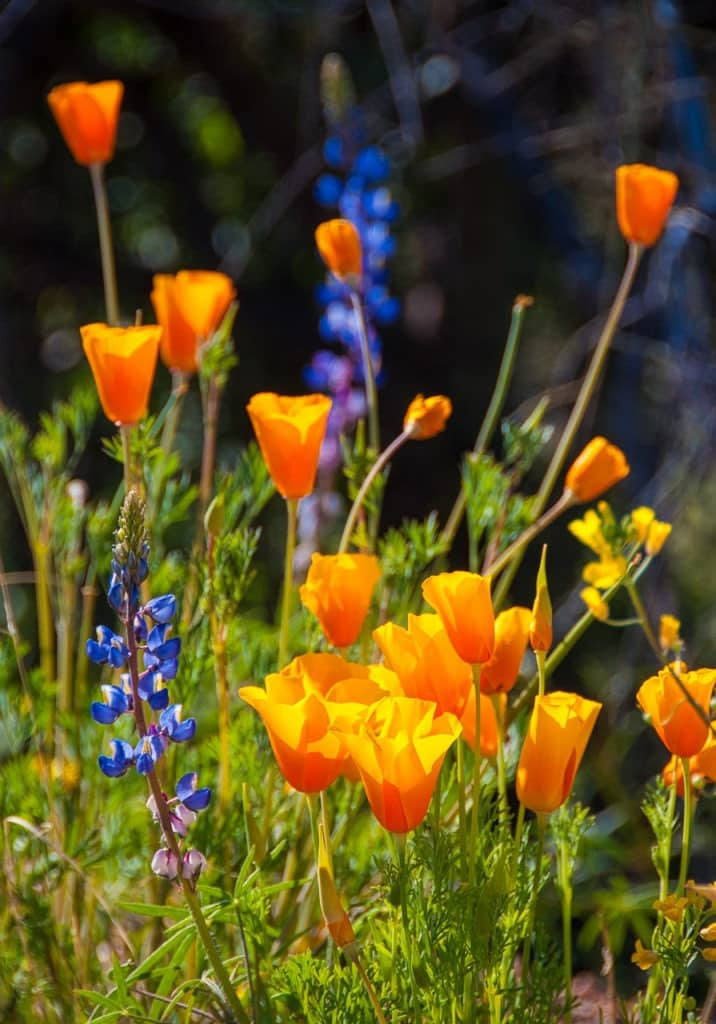A nice arrangement of Mexican Gold Poppies and Desert Lupine gracing a Sonoran Desert meadow on the Apache Trail in Arizona.