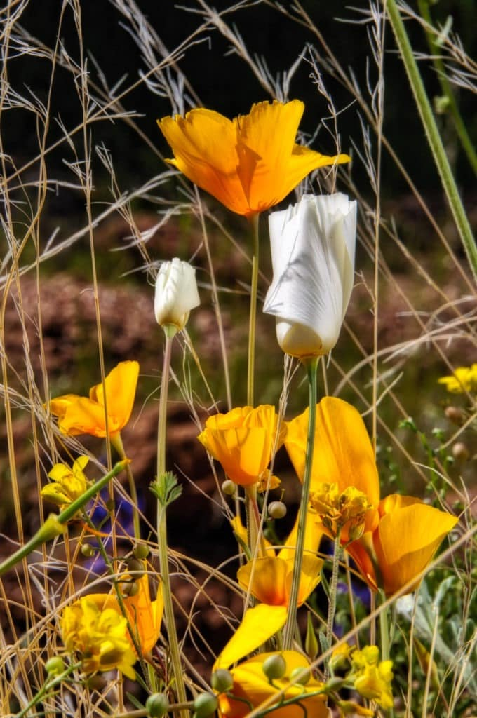 White and gold Mexican Poppies growing amongst the grass along the Apache Trail in Arizona.