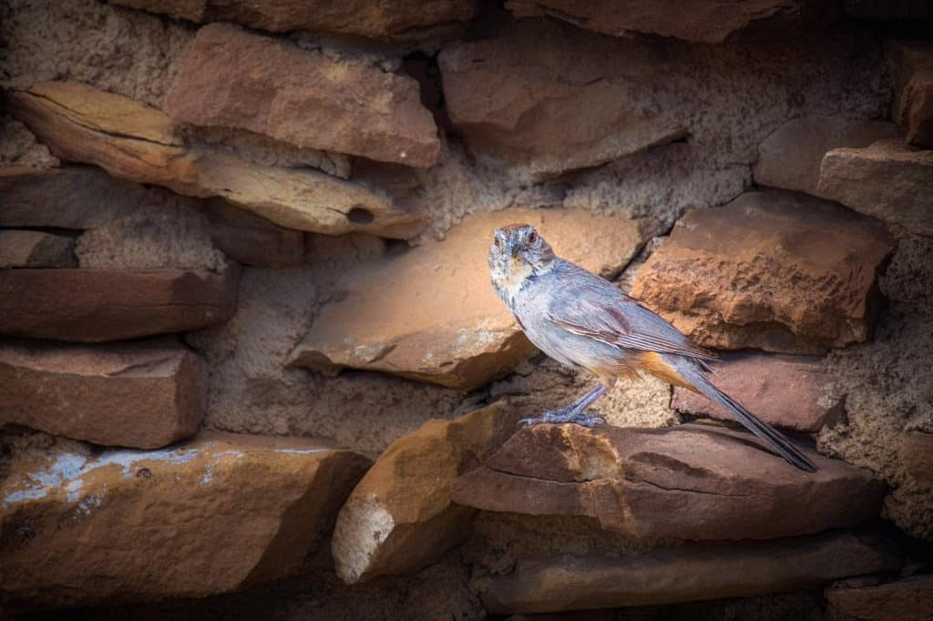 A Canyon Towhee gives us the eye from his ledge on and interior wall of Pueblo del Arroyo in Chaco Canyon, New Mexico.