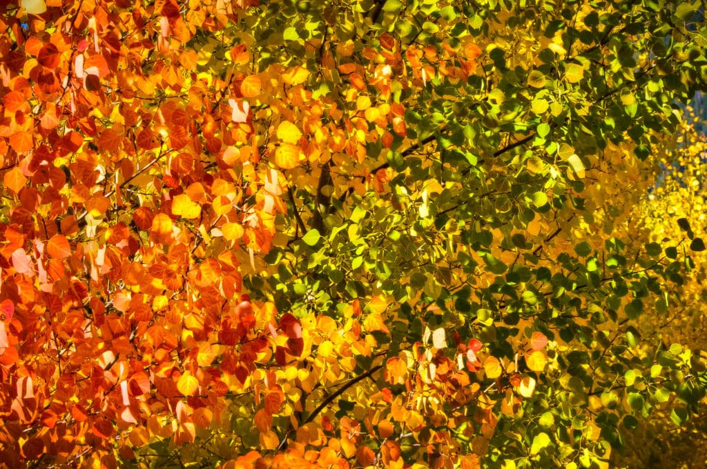 A close-up of a small grove of aspens exhibiting a spectrum of fall colors from red through orange, yellow, and green.