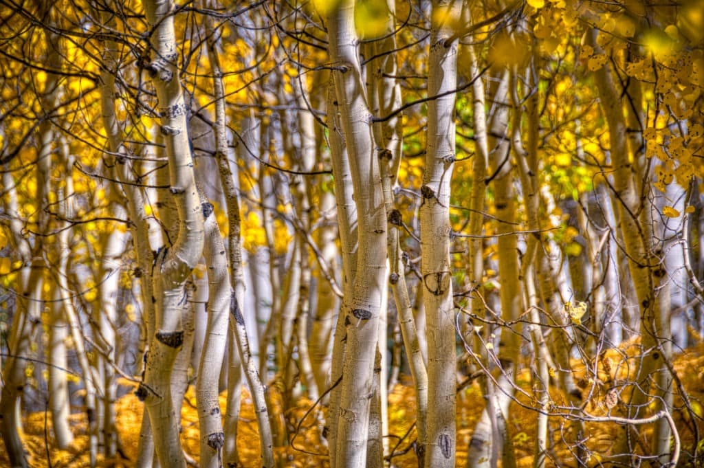 Looking through a forest of quaking aspens along CR12 near Kebler Pass in Colorado.