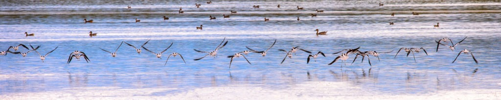 American Avocets take flight from one of several ponds located in the Blanca Wildlife Habitat Area in the San Luis Valley near Alamosa, Colorado.
