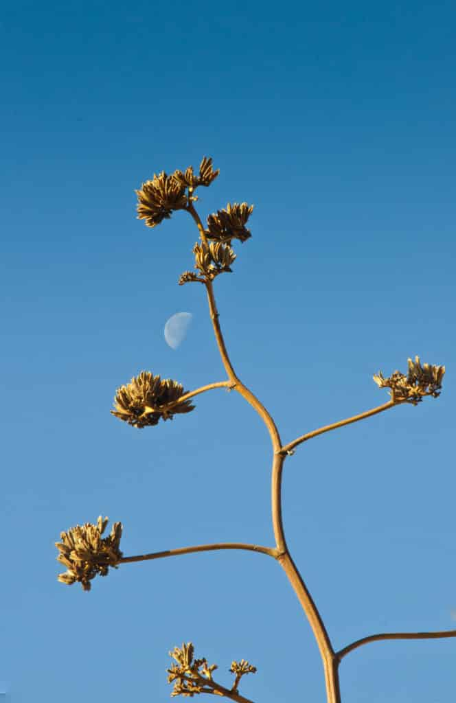 Century plant in City of Rocks State Park in New Mexico.