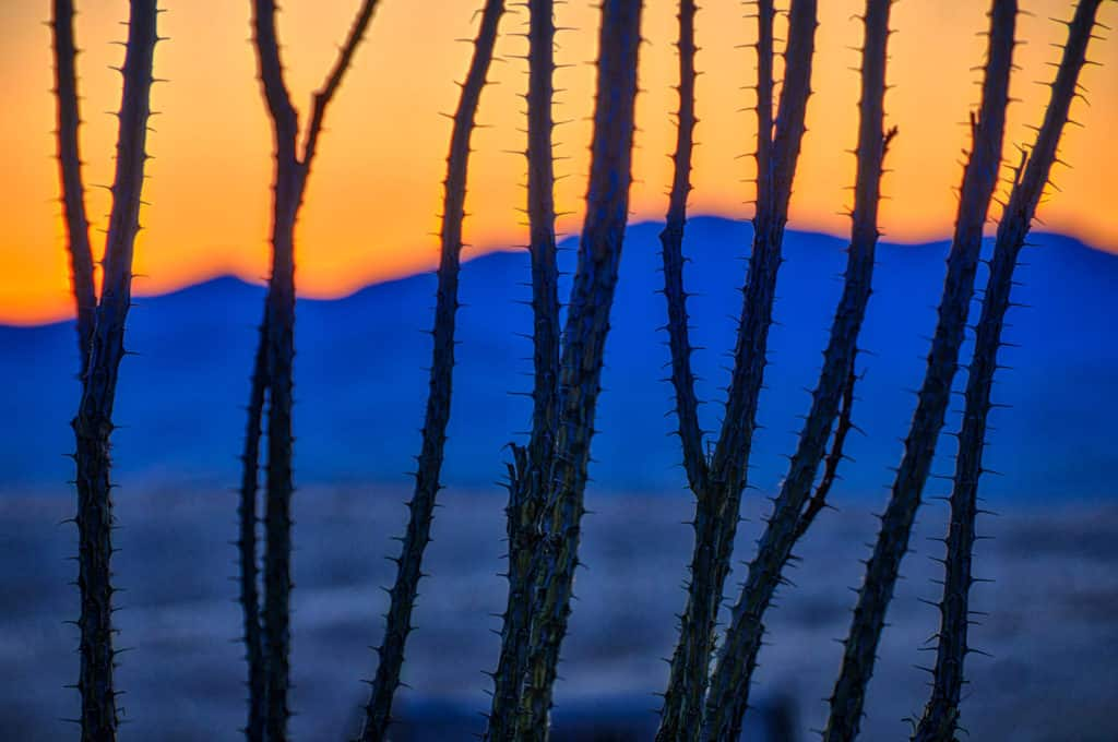 The branches of an ocotillo are silhouetted against blue sunset mountains in City of Rocks State Park, New Mexico.