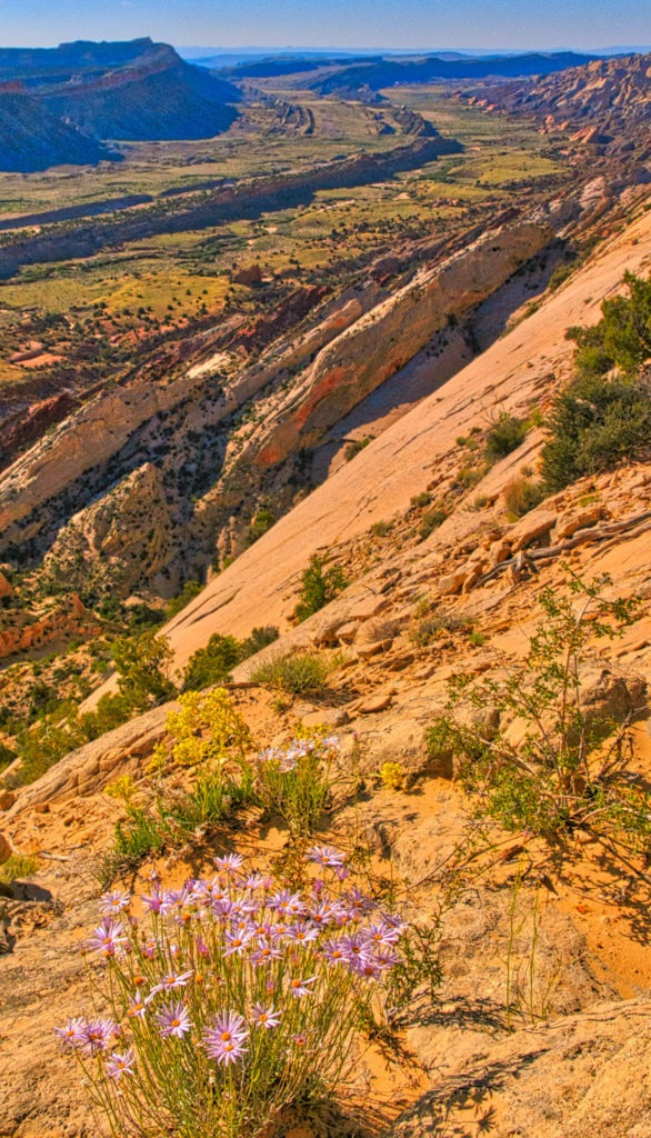 Looking south from Strike Valley Overlook in Capitol Reef National Park, with purple Utah Daisies in the foreground.