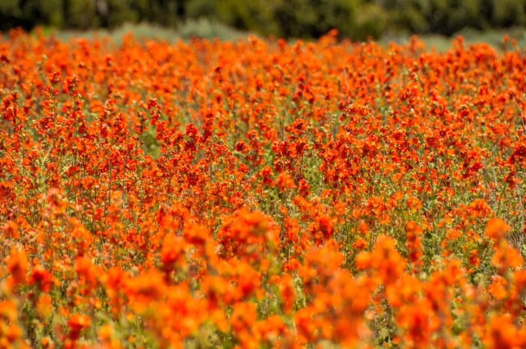 A dense field of Globe Mallow grows along the Burr Trail just outside Capitol Reef National Park in Utah.
