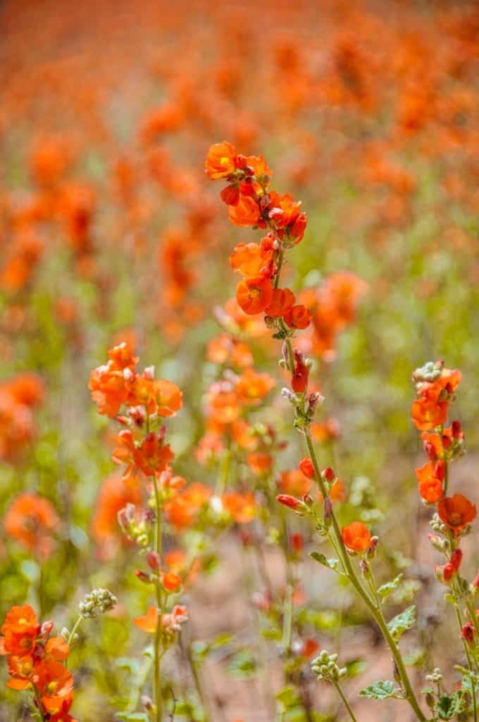 Dense growth of Globe Mallow along the Burr Trail just outside Capitol Reef National Park in Utah.