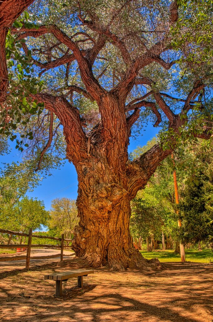 This gnarled and ancient Cottonwood tree, along Scenic Drive in the Fruita District of Capitol Reef Natioal Park, was where Fruita residents gathered to get their letters and packages prior to the construction of a permanent post office in 1904.
