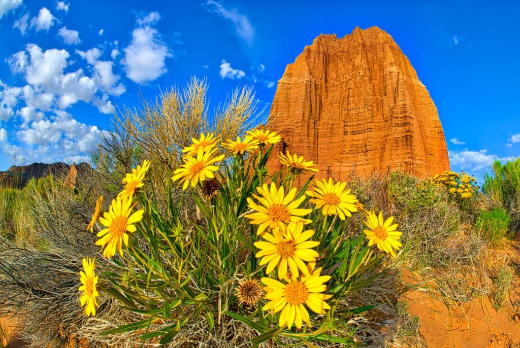 A clump of Nuttall's Sunflowers grow arounf the Temple of the Sun in Cathedral Valley in Capitol Reef National Park in Utah.