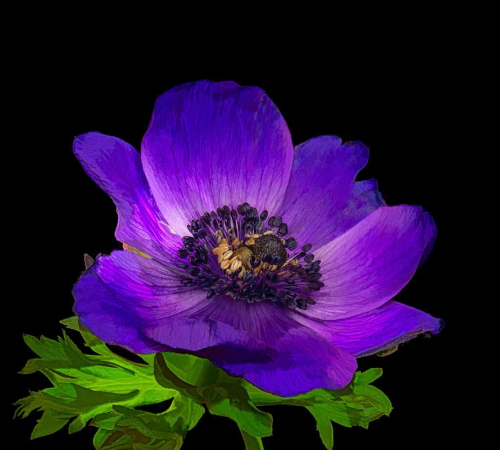 Flora - Anemone nemorosa