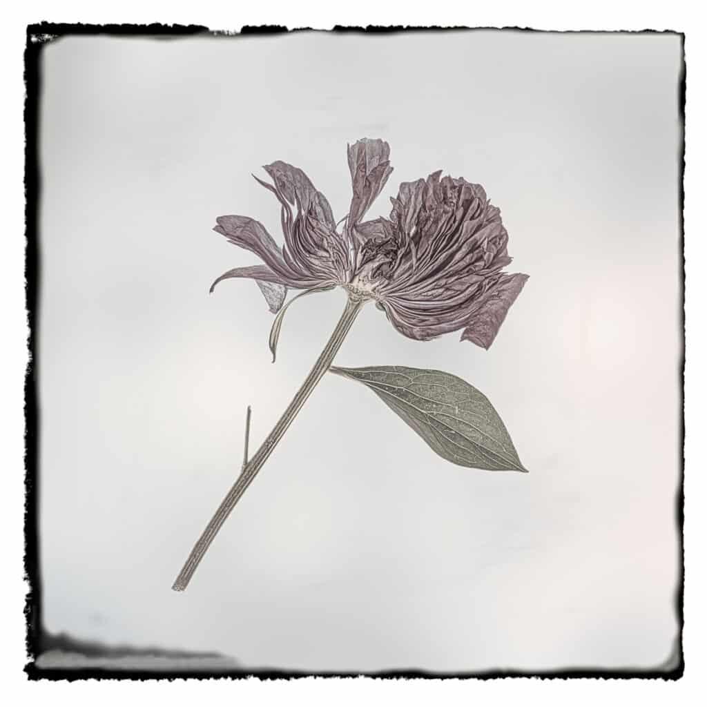 Portrait of a sliced peony blossom.