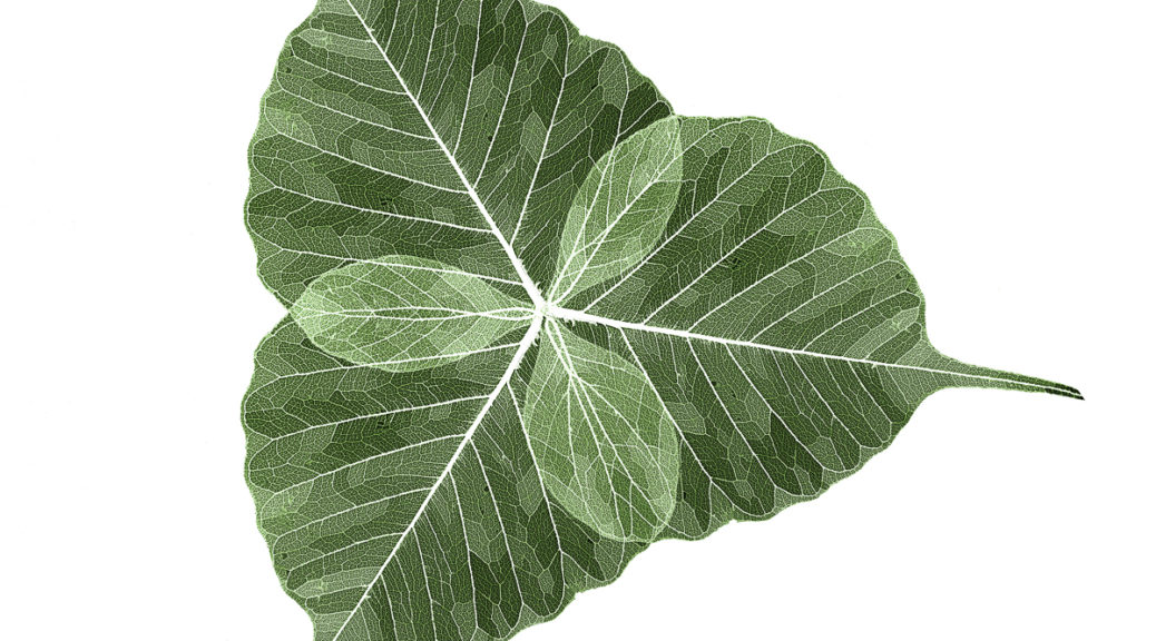 Three skeletonized Ficus Religiosa leaves overlapped to make a trefoil on a white background. This is part of the Botanical Portraits project.